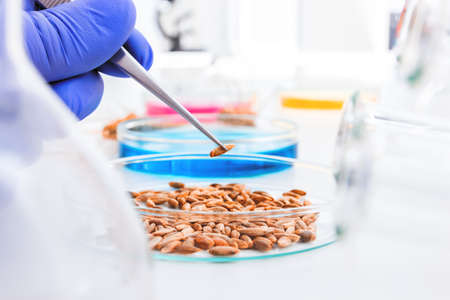 Cell culture assay to test genetically modified wheat   photo
