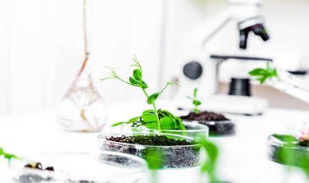 遺伝子組み換え植物は、ペトリ皿でテスト。生態学の研究室。 写真素材 - 26399588