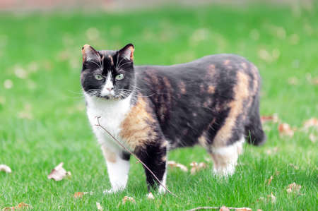 Beautiful, colorful calico cat in grass