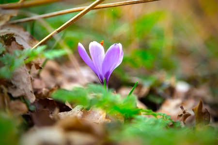 violet Crocus flower photo