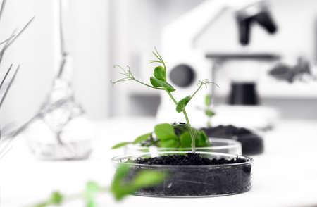 遺伝子組み換え植物はペトリ皿でテスト。生態学の実験室。 写真素材 - 33192524