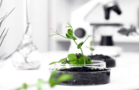 Genetically modified plant tested in petri dish .Ecology laboratory.