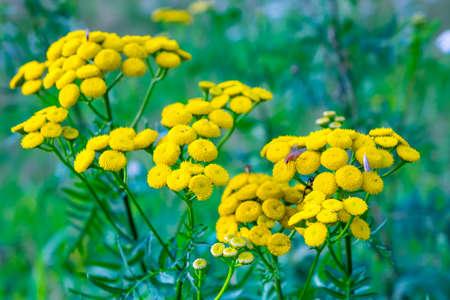 緑の自然背景ヨモギギクの花