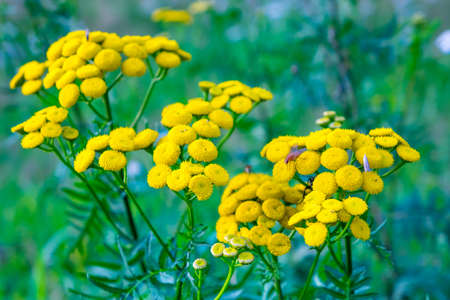 Tansy flower on green natural background