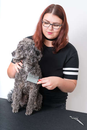 Grooming a little poodle in a hair salon . Black poodle.
