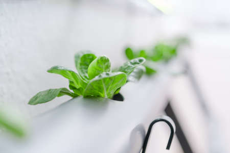 Vegetables hydroponics farm. Hydroponics method of growing plants