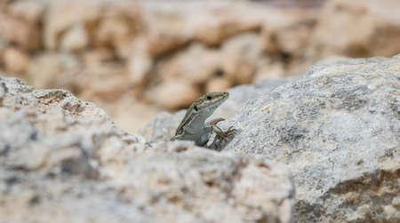 Portrait of a sand lizard