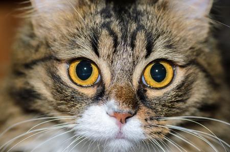 eyes wide open: Eyes wide open domestic cat