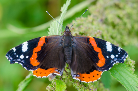 macrocosm: Butterfly vanessa atalanta with widely spread wings sits on a leaf