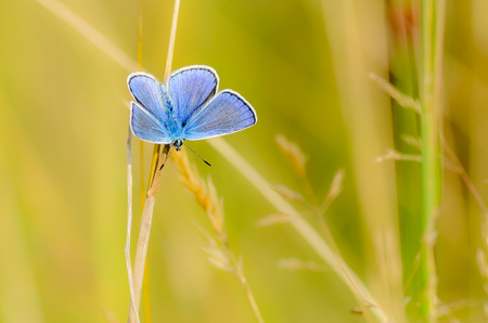 lycaenidae: The male butterfly with blue wings Stock Photo