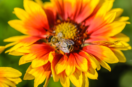 apis: A bee collects nectar on a large and bright flower