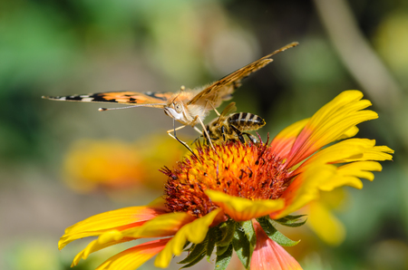 macrocosm: A bee collects nectar on bright flower under the wing of butterfly