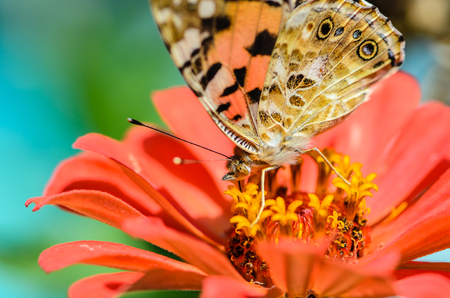 macrocosm: Beautiful motley butterfly collects nectar on a bud of orange flower