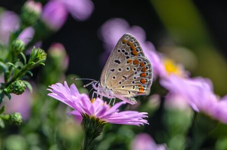 Butterfly of aricia agestis collects nectar on a bud of Astra Verghinas Reklamní fotografie