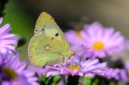 Beautiful yellow butterfly collects nectar on a bud of Astra Verghinas Stock Photo