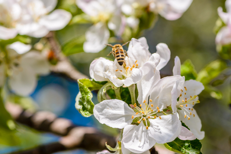 Bees pollinate the apple tree which blooms in large white flowers bees pollinate the apple tree which blooms in large white flowers in the spring stock mightylinksfo