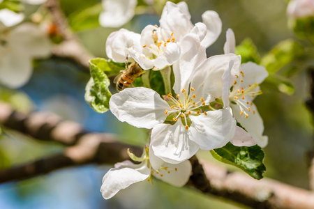Bees pollinate the apple tree, which blooms in large white flowers in the spring