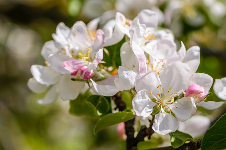 nectar: The apple tree bloomed with large white flowers in the spring