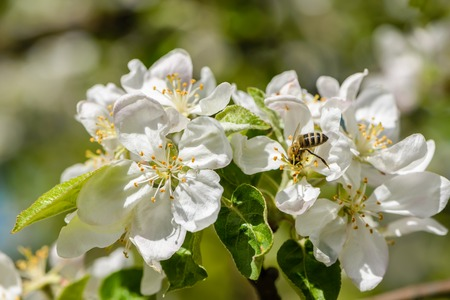 macrocosm: Bees pollinate the apple tree, which blooms in large white flowers in the spring