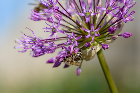 macrocosm: Bees pollinate large spherical umbrellas of wild onion, starting to blossom in small flowers.