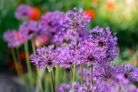 Allium flower: Very large spherical umbrellas of wild onion begin to blossom in small flowers. Stock Photo
