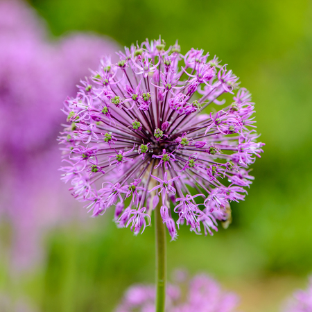 Very large spherical umbrellas of wild onion begin to blossom in small flowers. Stock Photo