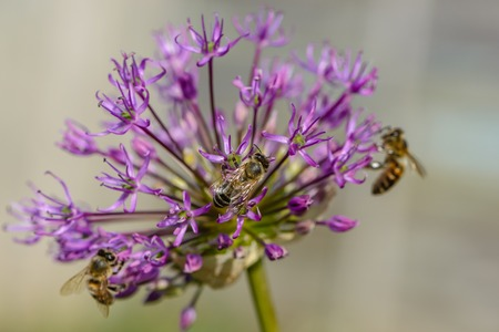 apis: Bees pollinate large spherical umbrellas of wild onion, starting to blossom in small flowers.