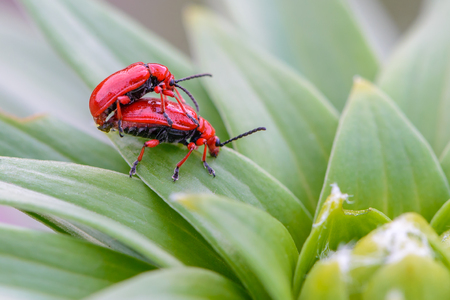 Two red bloody nosed beetle are breeding on lily leaves.