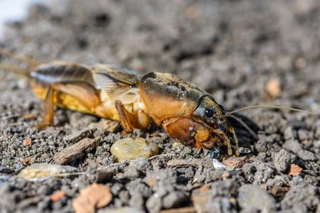 Het portret van een groot insect dat in het land leeft - gryllotalpa, dat een gevaarlijke plaag is in de landbouw.