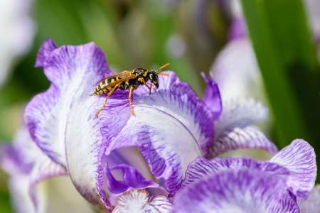 The wasp sits on an iris flower with large white petals with a lilac edging. Stock Photo