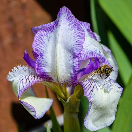 Beautiful flowers of iris with large petals of white color with a lilac border.