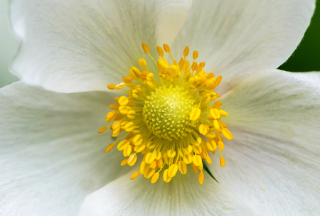 Snowdrop anemone blossom. Its a large white flower with yellow stamens