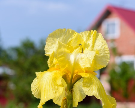 A beautiful large iris flower with yellow petals is covered with raindrops