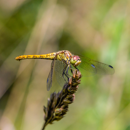 sympetrum vulgatum: Large yellow dragonfly sympetrum vulgatum sat on a dry blade of grass