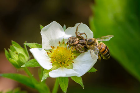 Spider xysticus caught a bee that pollinated strawberry flowers in the spring Stock Photo