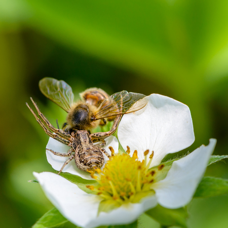 xysticus: Spider xysticus caught a bee that pollinated strawberry flowers in the spring Stock Photo