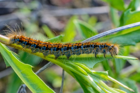 Hairy caterpillar of malacosoma castrense with a stripe on the back crawling a branch of grass