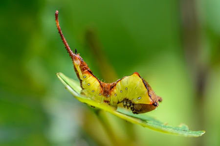 Beautiful caterpillar of cerura erminea with a long tail sitting on sheet in a bent state Stock Photo