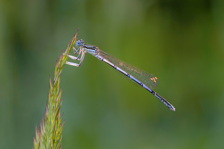 net: A beautiful dragonfly with a thin trunk and large netted wings sits on a blade of grass