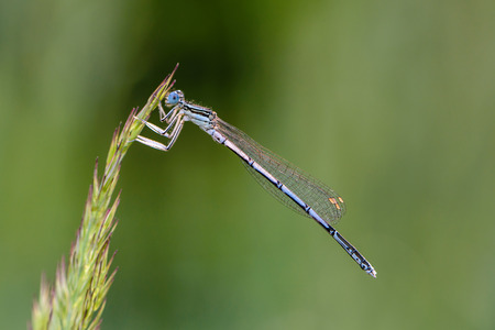 A beautiful dragonfly with a thin trunk and large netted wings sits on a blade of grass