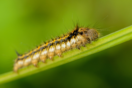 Hairy caterpillar of butterfly silkworm crawl on grass Stock Photo