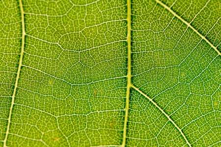 As a background, a green leaf of grapes is taken close-up for lumen