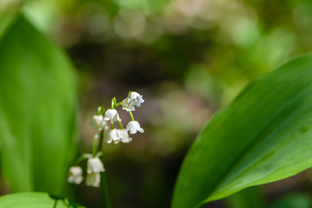 May lilies of the valley blossom with white buds in the form of bells in the spring in the forest