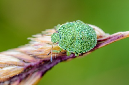 Young green nymph bug with black dots on a shell sits on a leaf of grass