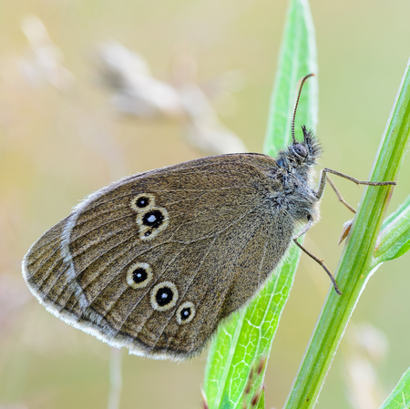 A large butterfly of aphantopus hyperantus with brown wings sits on a grass stalk.