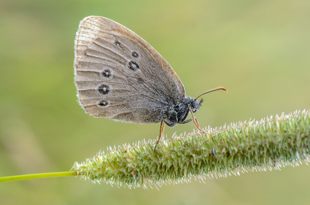 A small butterfly with brown wings sits on a spikelet of grass Stock Photo