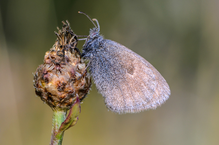 A large butterfly of coenonympha pamphilus with brown wings sits on a bud of a dry flower. Stock Photo