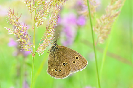 Butterfly with brown wings and dots on them sits on the grass on a green background