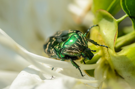 Brilliant beetle cetonia aurata creeps along the blossoming flower bud