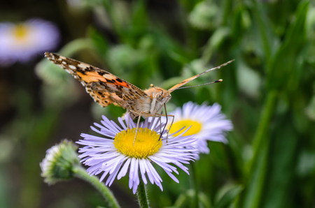 Butterfly vanessa cardui collects nectar from the flowers of asters on a sunny day